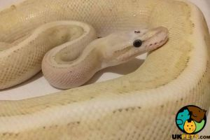 Python Snake Online Ad