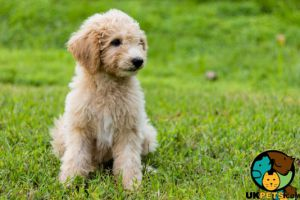 Cute Goldendoodle Wanted
