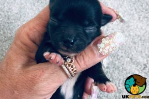 Chihuahua For Sale in the UK