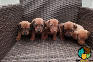 Dachshund For Sale in the UK