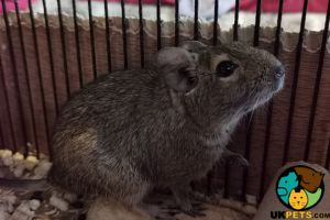Degu Advertisement UK Pets