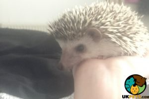 Pygmy Hedgehogs For Sale