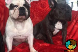 French Bulldog Online Listings
