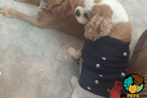 Cavalier King Charles Spaniels Wanted
