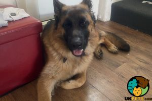 Available German Shepherds