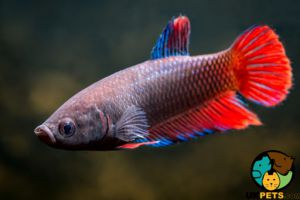 Betta Fish and Aquatic Breed
