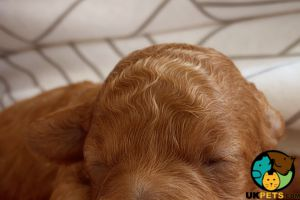 Miniature Poodle for Rehoming