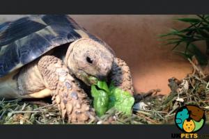 Tortoise Dogs Breed