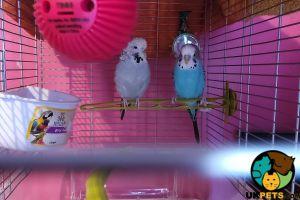 Budgerigar Birds Breed