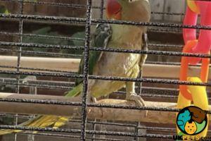 Alexandrine Parrot for Rehoming