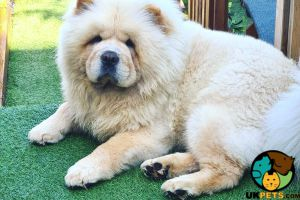 Chow Chow For Stud