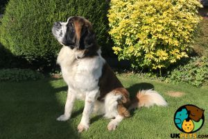 Saint Bernard For Stud