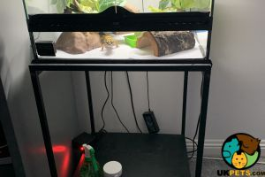 Leopard Gecko For Sale in Great Britain