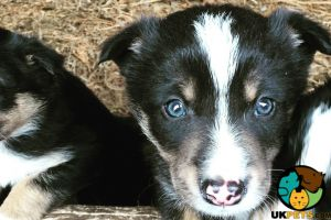 Border Collie For Sale in the UK
