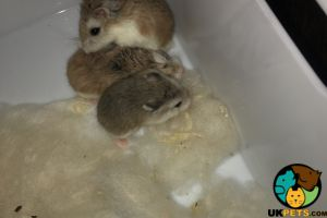 Available Hamsters