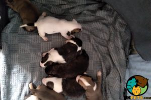 American Bulldog For Sale in the UK