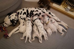 Dalmatian For Sale in the UK