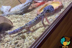 Leopard Gecko Online Listings