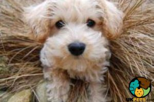 Schnoodles for Rehoming