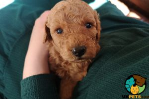 Miniature Poodle For Sale in Great Britain