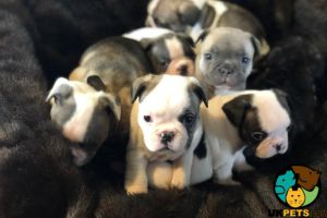 French Bulldog For Sale in Lodon