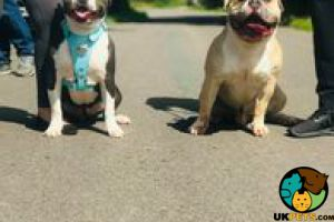 Cute American Bully For Sale