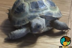 Tortoise for Rehoming