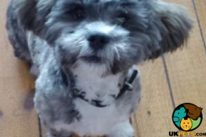 Lhasa Apso For Stud in Great Britain