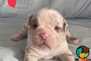 Old Tyme Bulldog For Sale in Lodon