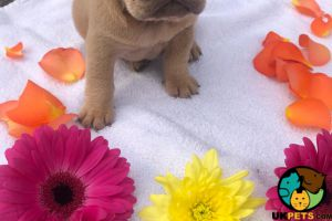 4 KC Registered French Bulldog Girl Puppies For Sale