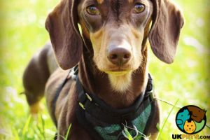 Miniature Dachshund For Stud in Lodon