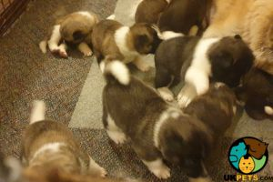 Akita For Sale in Lodon