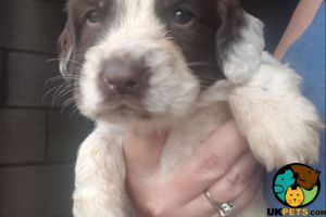English Springer Spaniel For Sale in Lodon