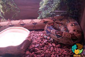 Boa Snake For Sale in the UK