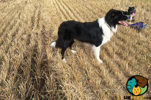 Border Collie For Stud in the UK