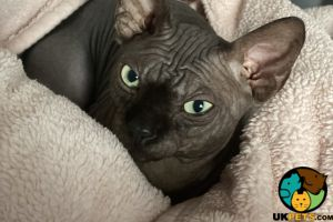 Sphynxes For Stud