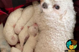 Available Bichon Frises