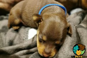 Miniature Pinscher For Sale in Great Britain