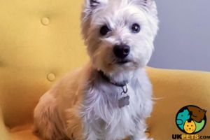 West Highland Terrier Wanted