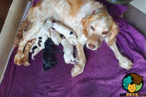 Cocker Spaniels for Rehoming