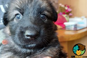 German Shepherd For Sale in Lodon