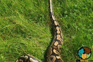 Available Python Snakes