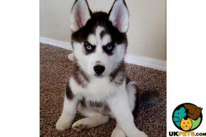 Siberian Husky Advertisement UK Pets