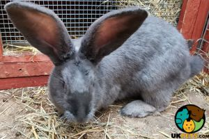 Continental Giant Rabbits Breed