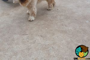 Cute Chow Chow For Sale