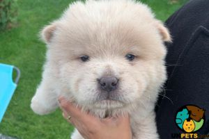 Chow Chow Online Listings