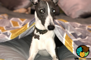 Whippet For Sale in the UK