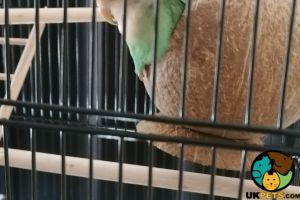 Lovebirds for Rehoming