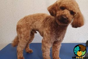 Toy Poodle For Stud in Lodon