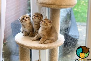 Scottish Fold Advertisement UK Pets